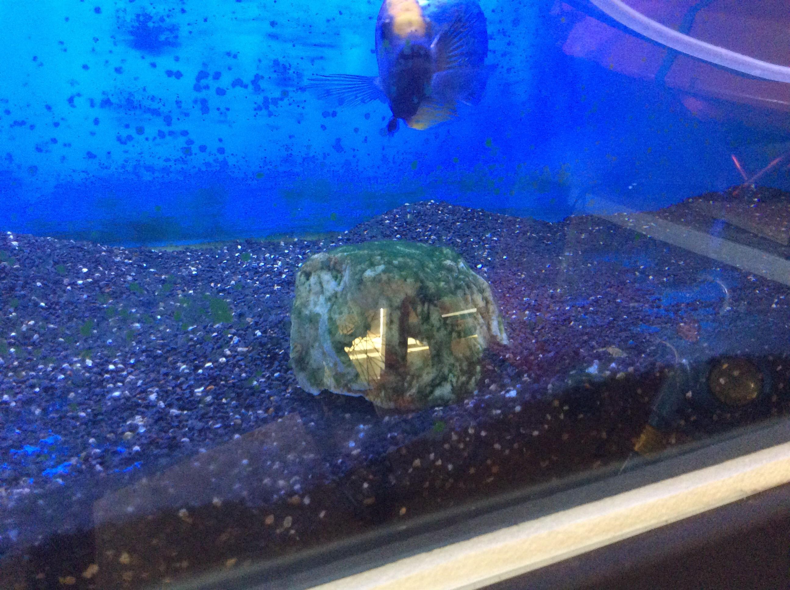 Algae probelm in african cichlid tank help with fish for Fish tank algae