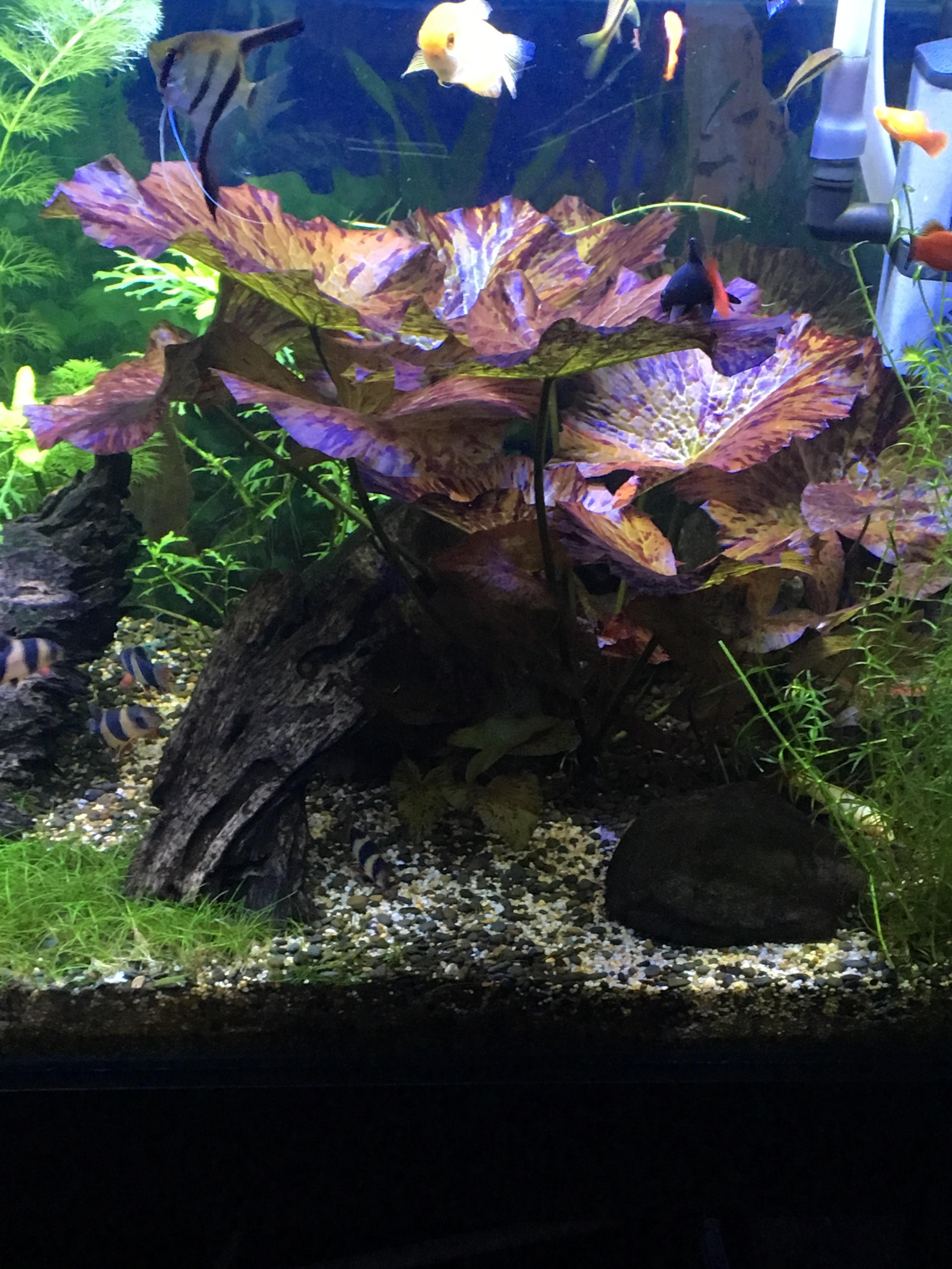 Fs Red Tiger Lotus Qldaf Aquatic Plant Trader Qld Aquarium Forum
