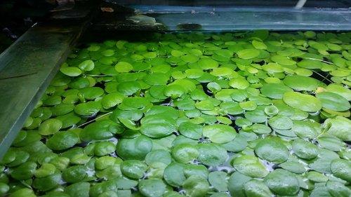 Frogbit.thumb.jpg.77228242348ca6e97f03611844d960c9.jpg
