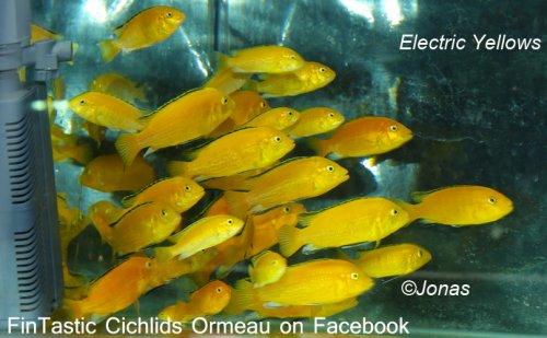 Electric Yellows c.jpg