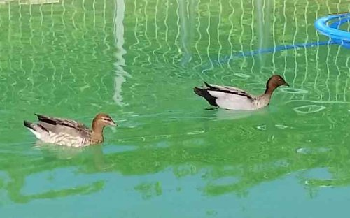 Ducks-2015a.thumb.jpg.f0d261d5e23d8b5629ffff5b75cbb8bb.jpg