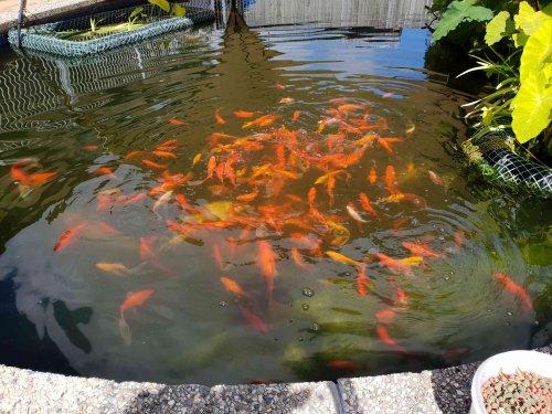 Goldfish.thumb.jpg.a7889a9cea720809dd9b0b748530d2b0.jpg