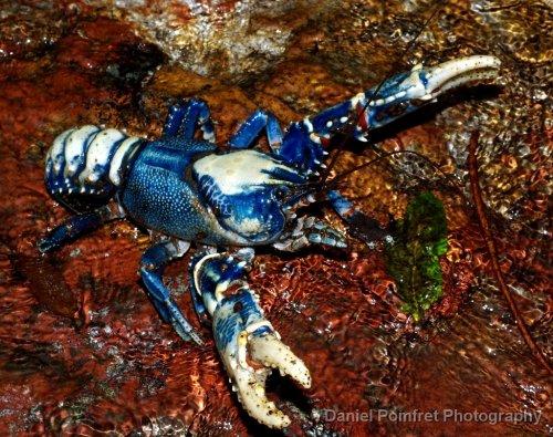 Euastacus-sulcatus-Lamington-Spiny-Crayfish-Queensland-007.jpg