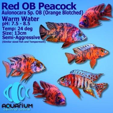 Peacock-Red-OB-JPG.jpg