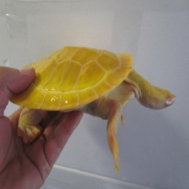 albino_murray_turtle.jpg