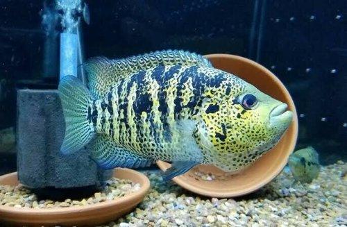parachromis.jpeg