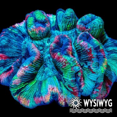 Ultra Indo Rainbow Trachy Brain.jpg